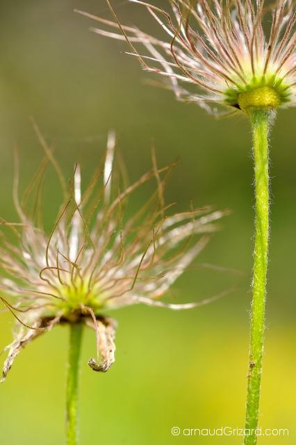 anemone-2