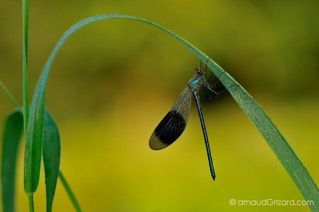 calopteryx-1