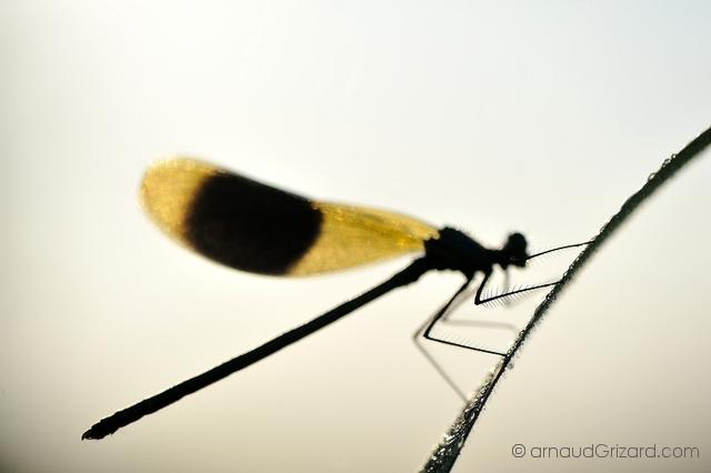 calopteryx-2