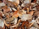 Crapaud dans les feuilles mortes