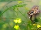Le petit crocodile des mares