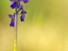 Orchis bouffon