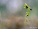 Délicate Ophrys abeille