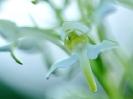 Détail d'Orchis verdâtre