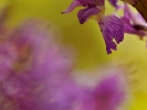 Détail d'Orchis mâle