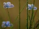 Bouquet d'argus bleus