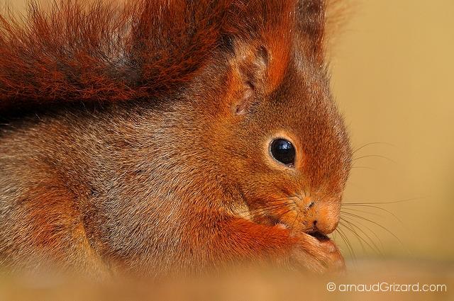 ecureuil-11