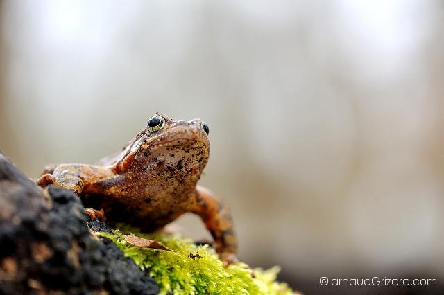 grenouille-rousse