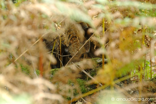 Cache-cache cochon (Espace Rambouillet)