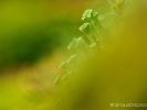 détail de lichen (Cladonia)