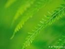 Vet sur vert, larve de Sauterelle et fougère