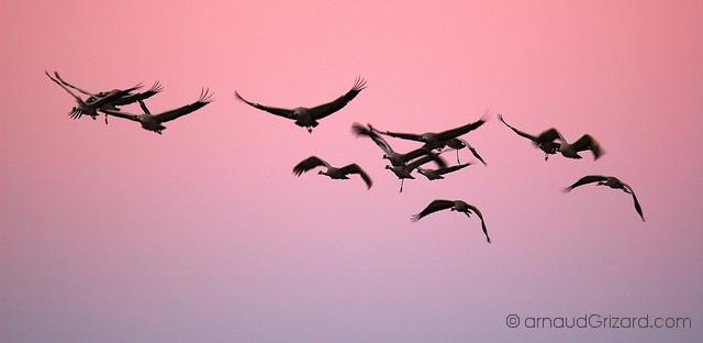 Vol de grues au petit matin