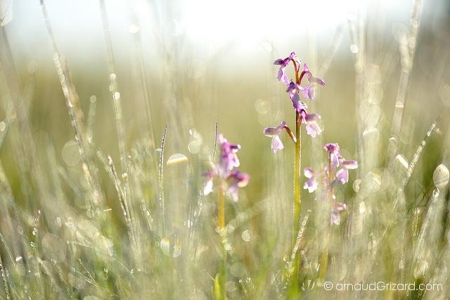 Orchis bouffon dans la rosée du matin