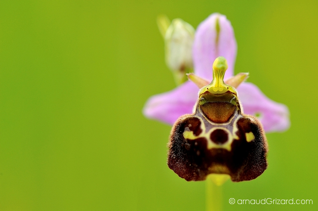 Orchis bourdon