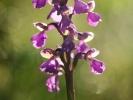 Orchis morio ou Orchis bouffon