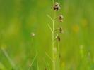Orchis bourdon exubérant