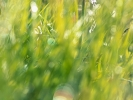 Orchis pourpre dans la lumière du matin