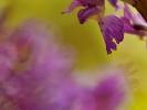 Détail d\'Orchis mâle