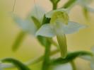 Orchis verdâtre et larve de sauterelle