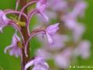 Détail d\'Orchis moucheron