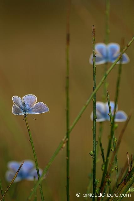 Bouquet d\'argus bleus