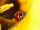 Coccinelle et tulipe