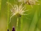 Anémones pulsatiles, fructification et fleur