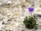 Violette de Rouen